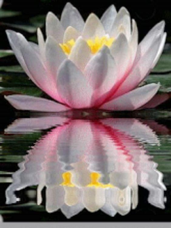 Q ama flor de lotus ...