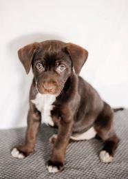 Hayden - Labrador Retriever