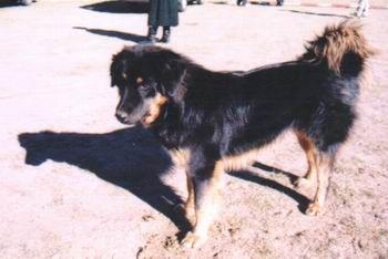 Mongolian Four-Eyed Dog.