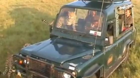 """Hello Kitty? The headline reads: """"Cheetah Jumps Through the Window into the Safari Jeep."""" Scroll down to see the 45-second video. Horst and Martina's self-made travel video, recorded in November 2013 in the Masai Mara National Park in southwest Kenya."""