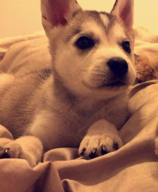 Pomsky Siberian Husky Mix Puppy For Sale In Los Angeles Ca Adn