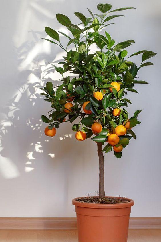 Plantas frutales para macetas: Naranja