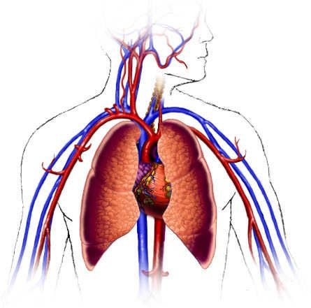 CardioVascular System and Respiratory System information ...