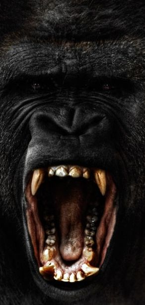 A raging male silverback gorilla - Doing it is better than how it looks.: