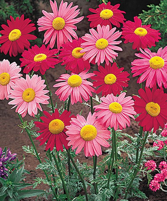 Look at this Painted Daisy Bare-Root on #zulily today!