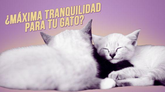 Feromonas Felinas Un Gran Aliado Con Tu Gato Te Garantizan La Cal Gatos Felino Mascotas