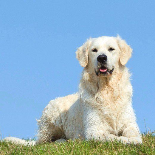 The Truth About English Cream White Golden Retrievers English