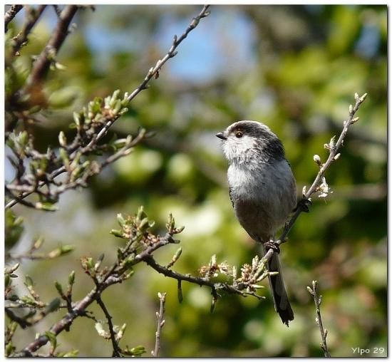 M sange longue queue naturepassion oiseaux de nos for Oiseaux de nos jardins en belgique