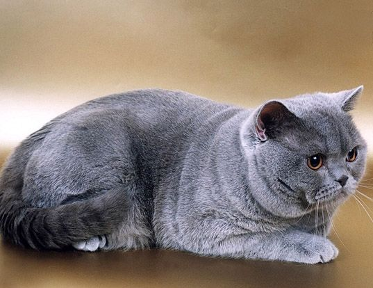 Picture Of A British Shorthair Cute Cat Breeds British Shorthair Cats British Shorthair Kittens