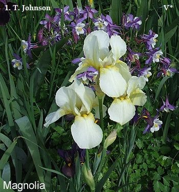 Magnolia | Historic Iris Preservation Society