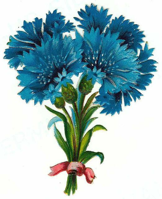 cornflowers a.k.a. blue bachelor buttons:
