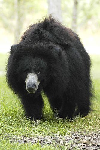 Sloth Bear   Melursus ursinus (Sloth Bear)