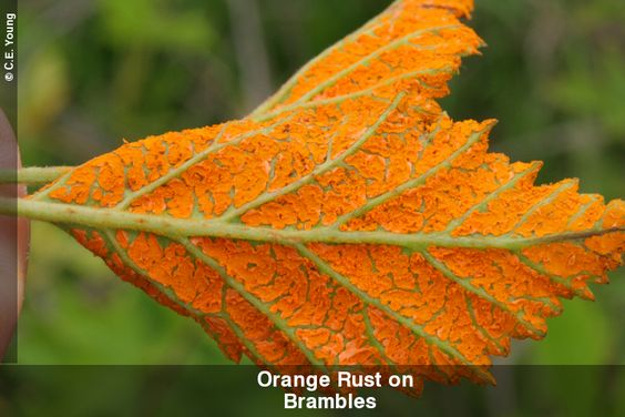 Orange cane rust on blackberry