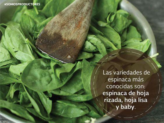 Las variedades de espinaca más conocidas son: espinaca de hoja rizada, hoja lisa y baby. SAGARPA SAGARPAMX #SomosProductores
