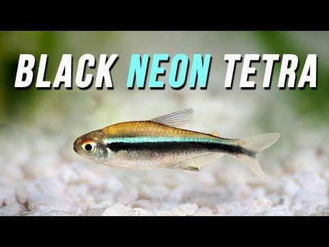Species Spotlight Black Neon Tetra Youtube Neon Tetra Black Neon Tetra Fish