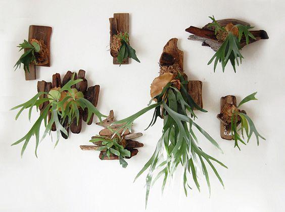 ビカクシダの板付けで 壁を飾る: