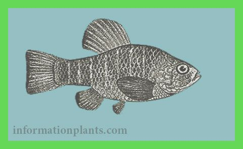 سمك البطحيش Cyprinodon قسم انواع الاسماك انواع الاسماك انواع الاسماك مع الصور معلوماتية نبات حيوان اسماك فوائد Animals Turtle Fish