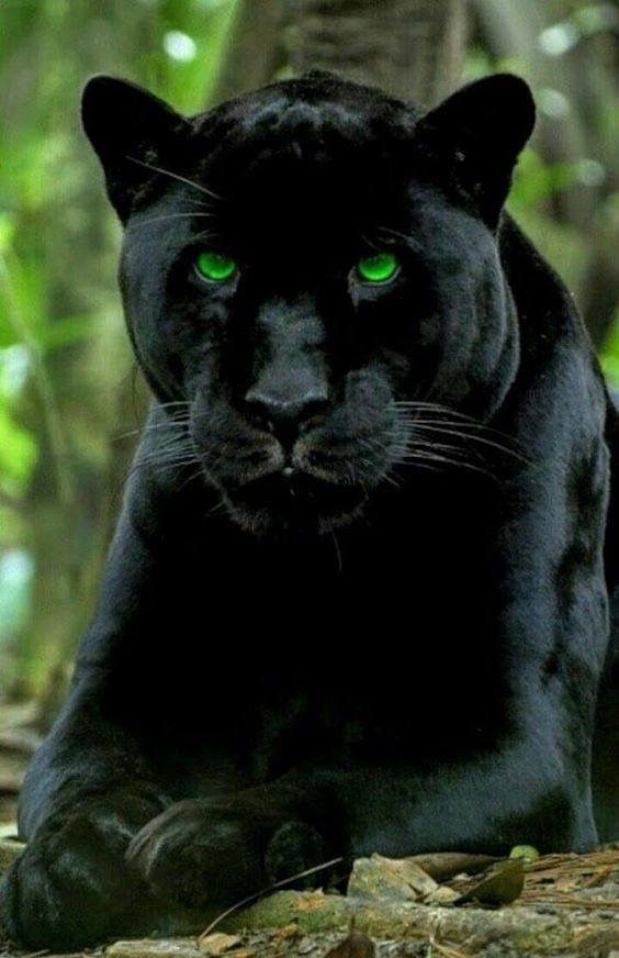 Pin By Jackie Ward On Big Cats Panther Cat Black Panther Cat Big Cats