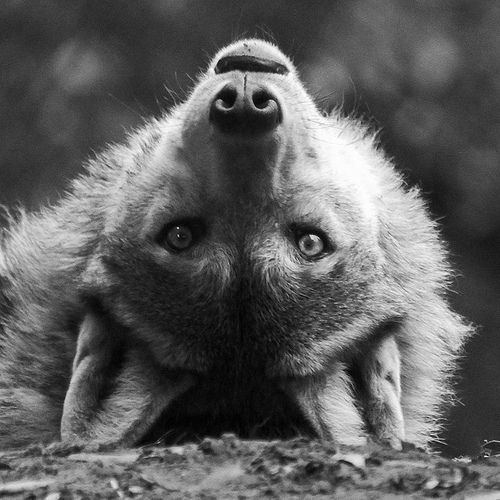 White Wolf: The Truth About Wolves: Facts vs. Fiction