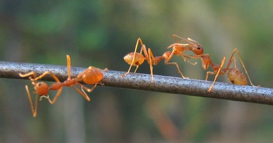 Die besten Hausmittel gegen Ameisen - Bild von By Vinayaraj [CC-BY-SA-3.0]
