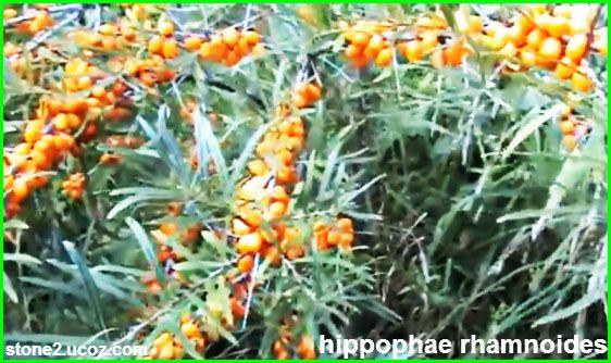 قائمة فاكهة الغاسول البحري Hippophae قائمة الفواكهة النبات معلومات نباتية وسمكية معلوماتية Plants
