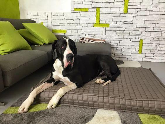 Foto: ...per un cane grande serve un grande materasso! e noi di SC DREAM PET ce l'abbiamo... che bellezza Stark <3