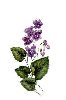 violets scientific drawing - Google Search