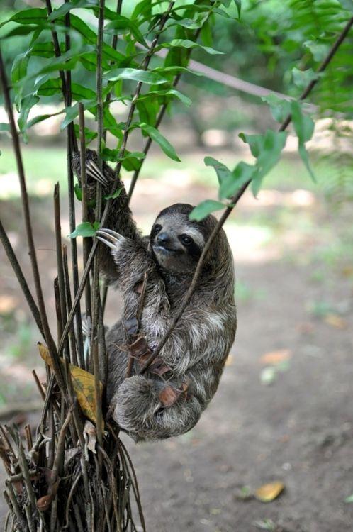 Sloth.