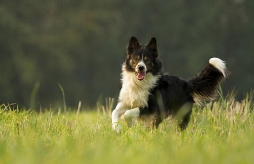 Bordercollie Colliepoint Herding Dogs Dog Breeds Dogs