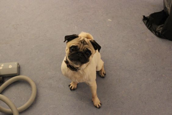 Office Visitor Hugo #pug