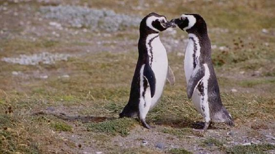 Penguin Pair Revealed To Be The Most Faithful Couple In The Animal Kingdom