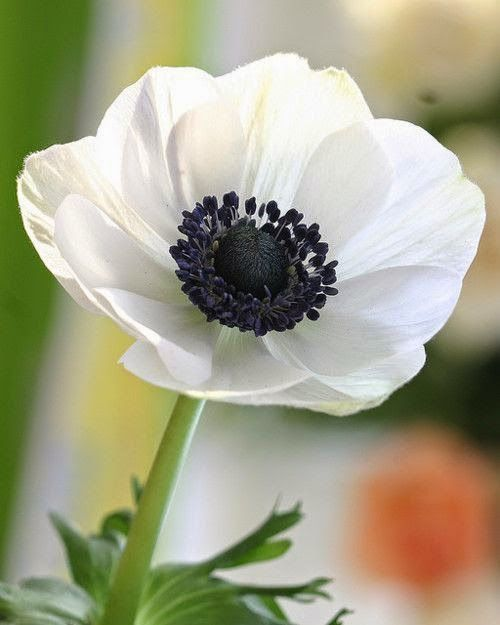 Awesome white flowers , Anemone