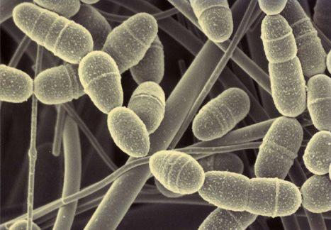 Pesquisa chinesa aponta impacto de bactérias para emagrecimento  Cientistas chineses estão estudando o impacto de certas bactérias sobre o peso da pessoa.