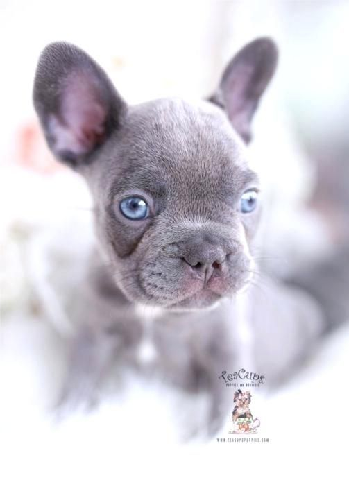 77 Teacup French Bulldog Puppies Price In 2020 French Bulldog