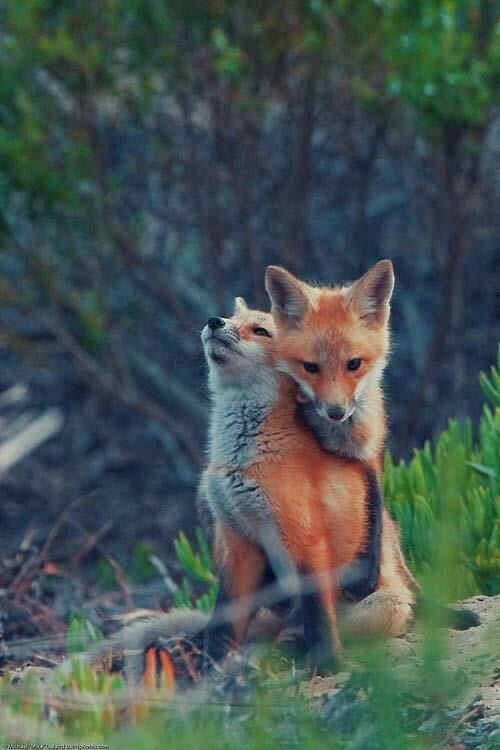 Red Fox Kits Fox Pups Animals Beautiful Animals