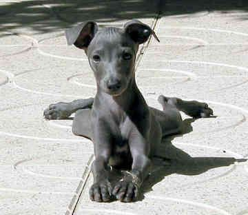 Miniature Italian Greyhound Greyhounds big and small