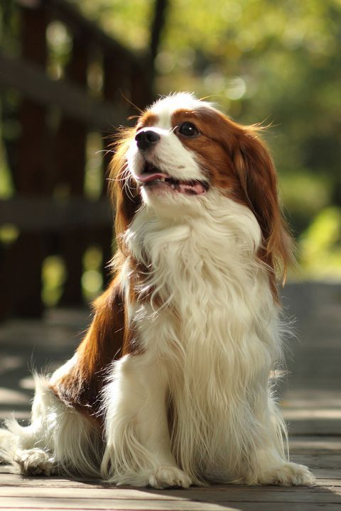 15 Best Apartment Dogs For City Dwellers Cavalier King Charles