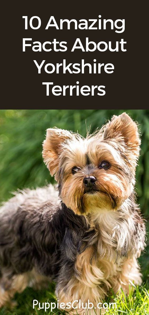 10 Amazing Facts About Yorkshire Terriers Yorkie Facts In 2020