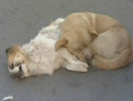 Vídeo: Cão enfrenta frio de - 13ºC para proteger amigo atropelado em via na China