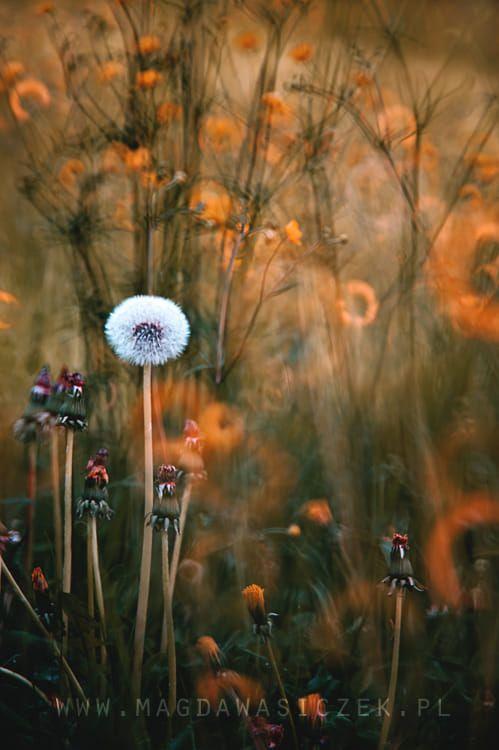 Dandelion Beautiful Photography Nature Spiritual Artwork Dandelion