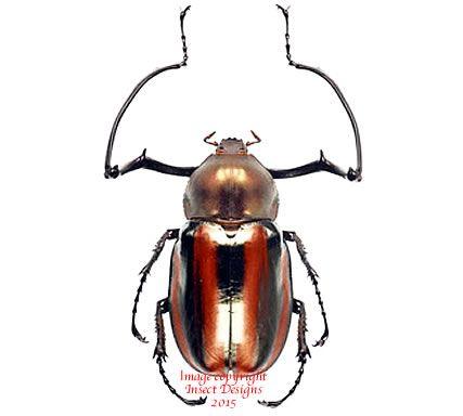 Euchiridae - Pesquisa Google
