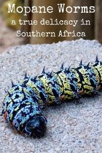 Mopane worms – A true delicacy in southern Africa