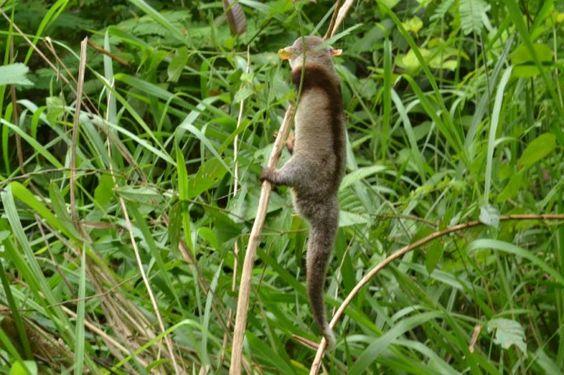 A cuíca-de-colete possui uma característica única entre os marsupiais sul-americanos: a faixa escura que se estende das mãos, passa pelos braços, ombros e chega até as costas - Foto: Júlia Laterza Barbosa