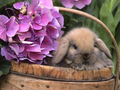 Baby Holland Lop Eared Rabbit