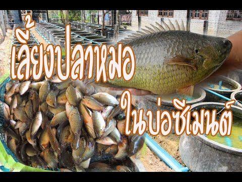 เล ยงปลาหมอในบ อซ เมนต Ep2 Youtube กบ