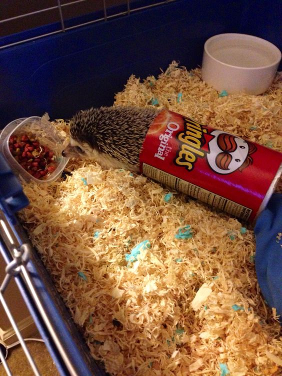 Eating inside a Pringles can:) he's so silly. Love my hedgehog<3