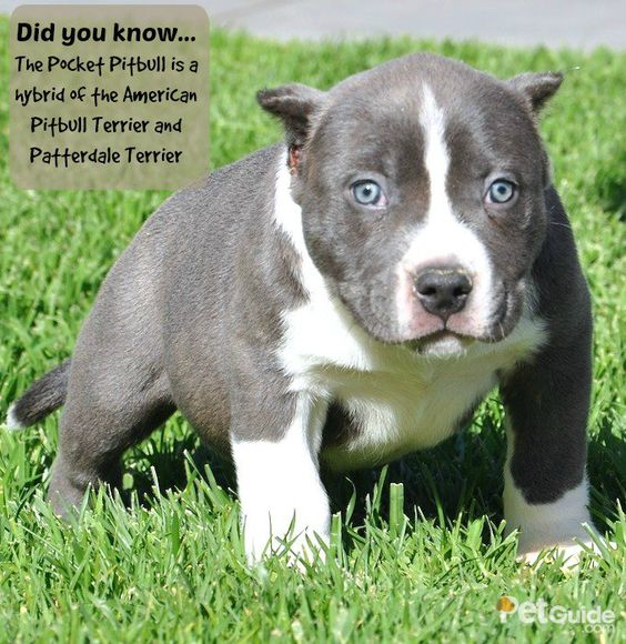 The Pocket Pitbull is a hybrid of the American Pitbull Terrier and Patterdale Terrier