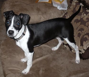Bostalian    Boston Terrier / Italian Greyhound Hybrid Dogs