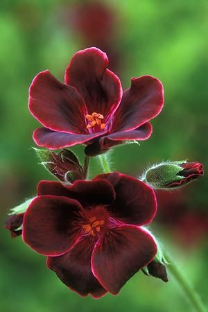 Pelargonium Lord Bute-  Kept frost free, one plant can come back year after year, looking bigger and better each time. -