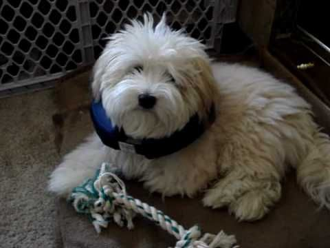 Havamalt Maltese Havanese Mix Info Care Puppies And Pictures Puppies Havanese Dogs Dog Grooming